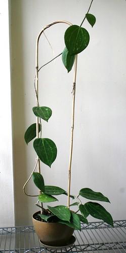 Hoya polystachya plant
