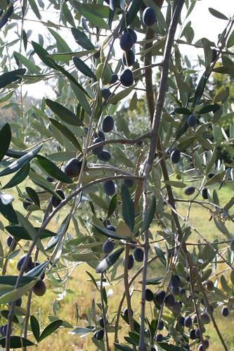 Olives 2009 025