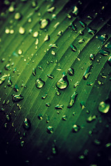 ... (Aaron Escobar) Tags: plant macro tree nature wet beauty rain closeup 35mm canon garden lens landscape eos leaf nice natural florida miami earth aaron banana platano dew everglades planet tropical droplet kit gota escobar dewy global globalwarming xsi roco hialeah 50d 450d