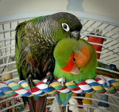 That's the Spot (The Long Experience) Tags: uk england cute bird love birds preening halo parrot places lovebird peg australis conure gcc peachfaced greencheek greencheeked pyrrhura molinae pflb