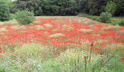 Veterans Day | Field of poppies