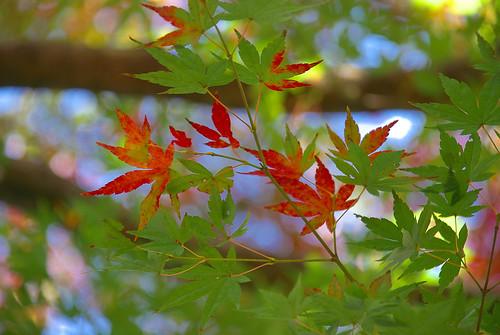 紅葉 / red and green maple