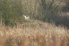 Barn Owl (Life Exposed Photography) Tags: brandon warwickshire barnowl