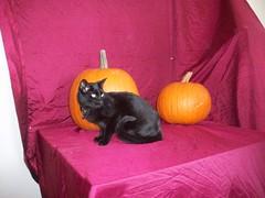 Black Cat Hendrix (AlishaV) Tags: black cat pumpkin