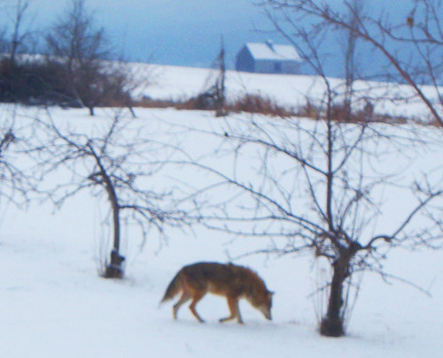 Coydog in the Winter Orchard