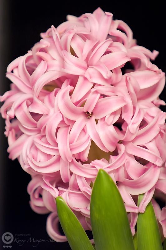 14/365 - Hyacinth