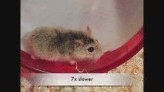 Tic - Update and Slow motion video compilation (roborovski hamsters) Tags: old motion slow casio hamster tac roborovski tic exilim hamsters robo roborovskihamsters exfc100