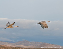 Sand Hill Cranes in Flight (Kelly Walkotten) Tags: newmexico bosquedelapache sandhillcranes snowgeese