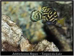 julidochromis_regani_800_01 (Bruno Cortada) Tags: malawi marino mbunas cclidos sudafricanos tanganyica