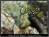 julidochromis_regani_800_01 (Bruno Cortada) Tags: malawi marino mbunas cíclidos sudafricanos tanganyica