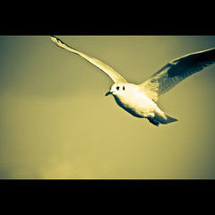 Gull II (manganite) Tags: autumn sky black fall birds animals clouds digital photoshop germany geotagged nikon europe bonn seasons cloudy tl iso400 framed stripes gulls sunny frame duotone d200 f56 nikkor dslr lightroom northrhinewestphalia nikond200 18200mmf3556 manganite 12500sec graurheindorf date:year=2006 repost1 date:day=1 date:month=november format:ratio=32 format:orientation=landscape 12500secatf56 geo:lon=7068753 geo:lat=50768249
