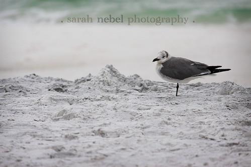 . seagull .