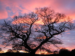 Same tree, different sky (Lune Rambler) Tags: pink winter sunset sky tree evening skies february oaktree oldoaktree supershot thegalaxy lunev