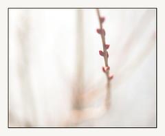 Waiting for spring 1 (leo.roos) Tags: winter monster bokeh sony m42 buds zuidholland jupiter9 darosa westerhonk leoroos