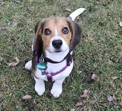 IMG_1544-2 (miss_verstaendnis) Tags: dog baby snow cute beagle canon garden puppy fun austria play sweet hund doggy garten leeloo spielen welpe