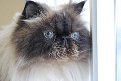 Schoeder (meejoebee) Tags: pet cats pets ontario canada cute animal cat feline homeless kitty hamster kitties milton shelter spca adopt oakville animalshelter oakvillehumanesociety