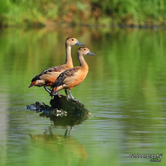 Sticking together (Sir Mart Outdoorgraphy) Tags: birds magazine education nikon photographer bokeh outdoor birding best malaysia penang indah waterfowl birdwatching birder butterworth birdisland byram flyingduck unik whistlingduck nikonian d90 migratorybirds bairam menarik lesserwhistlingduck nikonuser nibongtebal jurugambar penangflickr sigma150500 pulauburung sirmart outdoorgraphy penangflickrgroup pulauburong
