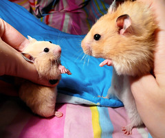 Migotka & Kokosanka ~ Sisters (pyza*) Tags: new pet cute girl animal monster mi golden rodent critter mimi blonde hamster syrian hammie chomik migotka