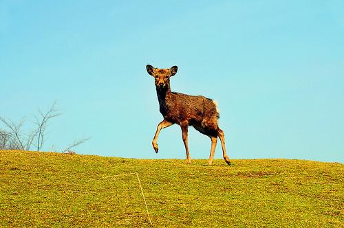 young-deer Nara wakakusa mountain