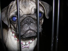 Trixie (amanda.a.harkins) Tags: pink blue dog playing black hot male green grass car female puppy outdoors chains eyes bars mess feather pug chain indoors prison fawn tired jail fancy zebra collar pugs trixie scottie houndstooth pearlcollar femalefawnpug blyeeyesdog