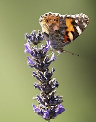 Painted Lady (carlc56) Tags: butterfly lepidoptera paintedlady vanessacardui