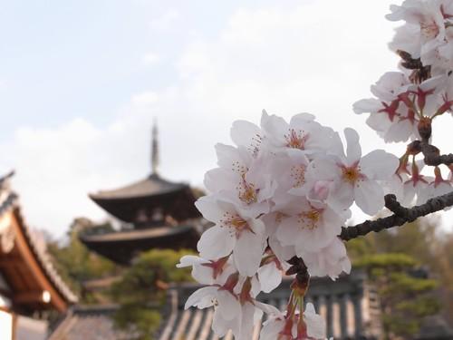 【桜】満開の桜が見事!『当麻寺(奥院)』@葛城市