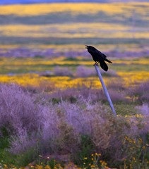 Carrizo Plain Raven '10
