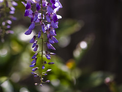 I Thought I Was Content ... (Mona Hura) Tags: flower yard fence was spring thought im blossom content vine bloom winding but bud sure now wisteria 8977 i butnowimnotsure ithoughtiwascontent
