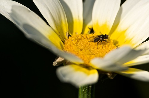 la mosca en una cama de polen