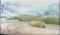 880202 Antarctic Wildlife (rona.h) Tags: video 1988 antarctica february elephantseals cloudnine furseal giantpetrel ronah
