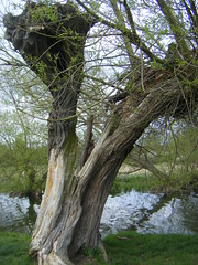 Slowly, slowly in the wind ... (gryphon569) Tags: river willow leaning stour creaking