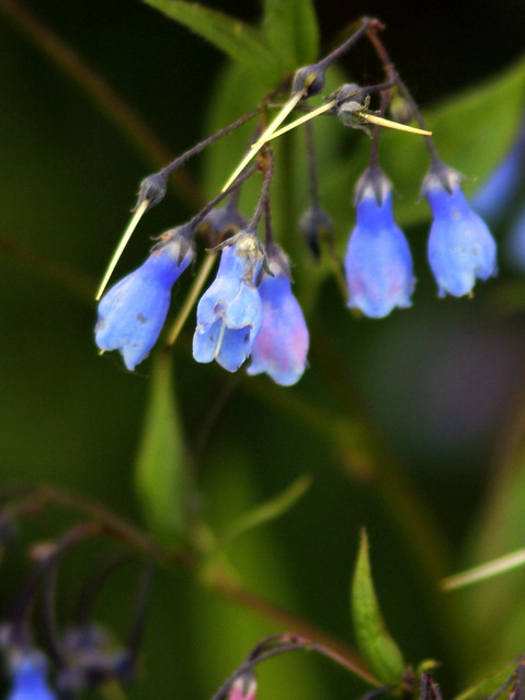 Blue bell-like flowers 20110618
