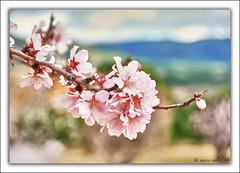 Almendro ( Marco Antonio Soler ) Tags: espaa spain flora nikon 14 flor almond iso alicante jpg hdr almendro 2014 alacant jijona xixona d80 procesados blinkagain