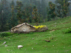 Hut with yellow blooms (com4tablydumb) Tags: himalayas uttarakhand trek tungnath chopta monal alpinehabitat monalpheasant india northernindia hills uttaranchal wildlife nature scenery tourism