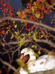 "Cincinnati - Spring Grove Cemetery & Arboretum ""Swan through the Berry Tree"" (David Paul Ohmer) Tags: ohio cemeteries lake david tree water cemetery graveyard death spring swan pond berry die grove spirit cincinnati cemetary arboretum conservatory graves historic soul burial grounds tombs strauch gravesites deceased springgrovecemetery springgrove springgrovecemetary victorian springgrovecemeteryandarboretum davidpaulohmer ohmer cemeterygothic revivalnational landmarkadolph"