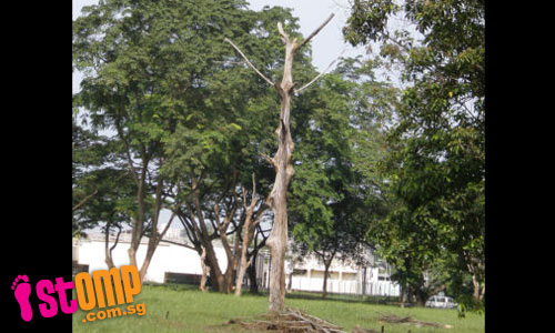 Dangerous tree stumps in Teban Gardens can lead to fatal accident