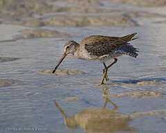 Short Billed Dowitcher (Michael Pancier Photography) Tags: usa beach nature birds florida shoreline coastal leecounty seor shorebirds fortmyers fortmyersbeach southwestflorida shortbilleddowitcher winterplumage bunchebeach floridaphotographer michaelpancier michaelpancierphotography avianphotography landscapephotographer eos7d floridaavianphotography leecountypark wwwmichaelpancierphotographycom seorcohiba floridabirdsbirdsofflorida