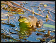 A bullfrog in the evening sun, Quebec, Canada....
