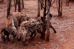 Hyaena Mother's Love
