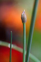 About to flower... (_aires_) Tags: ires aires adriansciboulette ciboulette chives bud readytoflower lateafternoon light nasturtiumbokeh bokeh green red orange macro canon canoneos50d canon50d 50d 100mm canonef100mmf28macrousm limaperu bokehwednesday happybokehwednesday hbw oracope