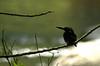 Silvery Kingfisher (Alcedo argentata) (Bram Demeulemeester - Birdguiding Philippines) Tags: philippines mindanao zamboanga silverykingfisher alcedoargentata bramdemeulemeester birdguidingphilippines philippinesbirdingtours ceyxargentatus