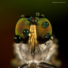 teary eyes of a robberfly (nonoiphotography (post and run mode)) Tags: life macro nature animal insect fly droplets eyes nikon singapore robberfly insecte vie d300 dcr250 raynox r1c1 sb200 specialpicture multifacetedeyes 105vrmicro macrolife alexandrabutterflytrail redmatrix macrolifeelite