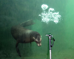 The Sea Lion and my Monopod (pe_ha45) Tags: californiasealion zalophuscalifornianus kalifornischeseelwen zoogelsenkirchen otariedecalifornie