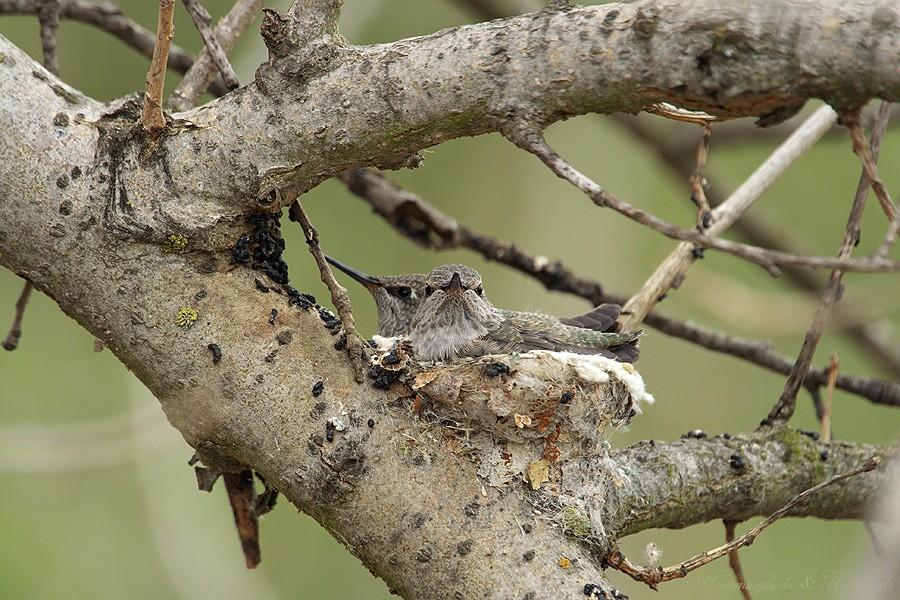 Anna's Hummingbird nest 09001