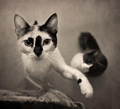 (Nilton Ramos Quoirin) Tags: brazil texture textura paran brasil cat curitiba tina gatas pepita