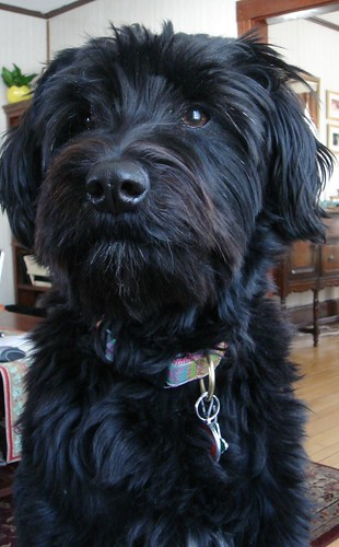Schnoodle Haircuts | Stella!!! A Blog About A Schnoodle!!