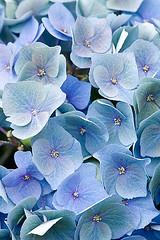 33592 (Clive Nichols) Tags: hydrangea shrub bela hortensia mophead macrophylla hortensis clivenichols flickrhydrangeas