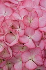 41676 (Clive Nichols) Tags: pink flowers beautiful hydrangea shrub eline hortensia mophead macrophylla hortensis clivenichols flickrhydrangeas