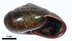 住在中高海拔, 數量稀少的高橋氏薩摩蝸。圖片來源:玉山國家公園管理處