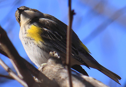 yellow-rumped warbler - curious